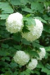 Fidan Burada - KARTOPU (Viburnum Opolus)