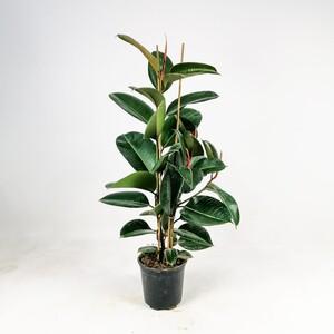 Fidan Burada - KAUÇUK BİTKİSİ (Ficus Elastica) 2 Gövdeli 80-100 Cm