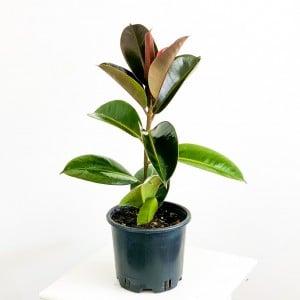 Fidan Burada - KAUÇUK BİTKİSİ ( Ficus Elastica) 50cm