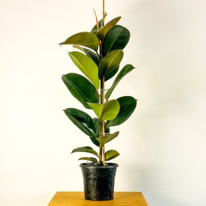 Fidan Burada - KAUÇUK BİTKİSİ ( Ficus Elastica) Tek gövdeli 80-100 Cm