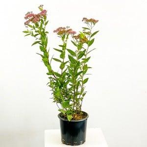 Fidan Burada - Keçi Sakalı Pembe İspirya Çiçeği 60-70cm