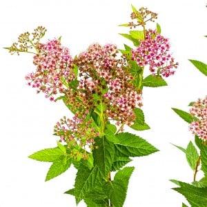 Keçi Sakalı Pembe İspirya Çiçeği 60-70cm - Thumbnail