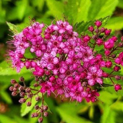 Keçi Sakalı Pembe İspirya Çiçeği 60-70cm