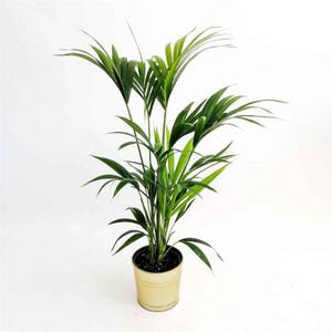 Kentia Palmiyesi-Howea Forsteriana-100-120 Cm - Thumbnail