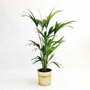 Fidan Burada - Kentia Palmiyesi-Howea Forsteriana-100-120 Cm