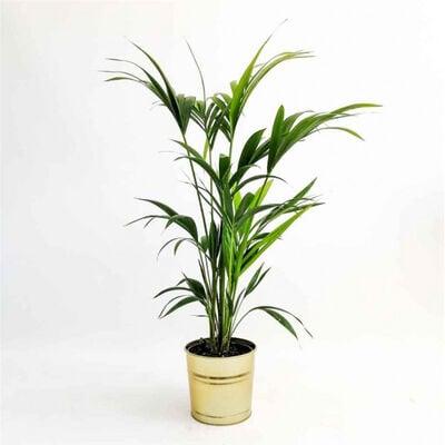 Kentia Palmiyesi-Howea Forsteriana-100-120 Cm