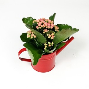 Ücretsiz Kargo - Kırmızı Dekoratif Saksılı Kalanşo Çiçeği