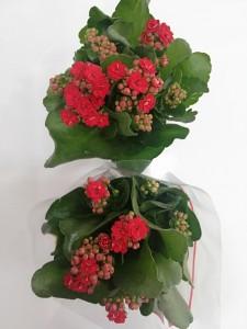 Fidan Burada - Kırmızı Kalanşo Çiçeği- Orta Boy-Kalanchoe