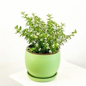 Fidan Burada - Kufeya Cennet Çiçeği Beyaz - Cuphea Hyssopifolia 20-30cm