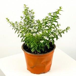 Kufeya Cennet Çiçeği Beyaz - Cuphea Hyssopifolia 20-30cm - Thumbnail