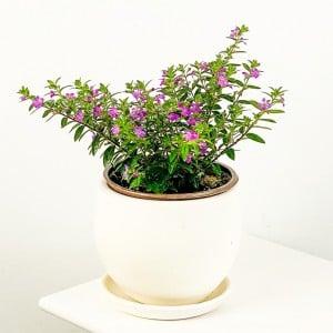 Fidan Burada - Kufeya Cennet Çiçeği Mor - Cuphea Hyssopifolia 20-30cm