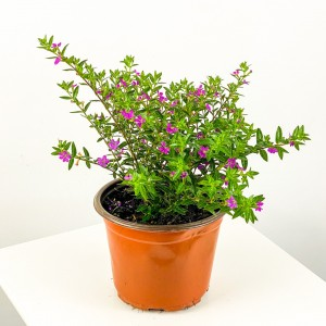 Kufeya Cennet Çiçeği Mor - Cuphea Hyssopifolia 20-30cm - Thumbnail