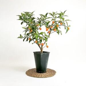 Ücretsiz Kargo - Kumkuat- Kamkat - Üzeri Meyveli (Citrus Fortunella Margarita) 50 Cm