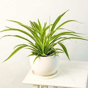 Fidan Burada - Kurdele Çiçeği Beyaz Curvy Saksılı Chlorophytum Comosum