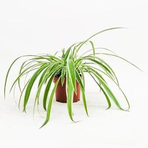 Fidan Burada - Kurdele Çiçeği - Chlorophytum Comosum