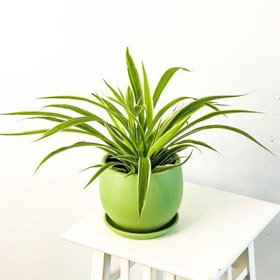 Kurdele Çiçeği Mint Yeşili Curvy Saksılı Chlorophytum Comosum