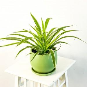 Kurdele Çiçeği Mint Yeşili Curvy Saksılı Chlorophytum Comosum - Thumbnail