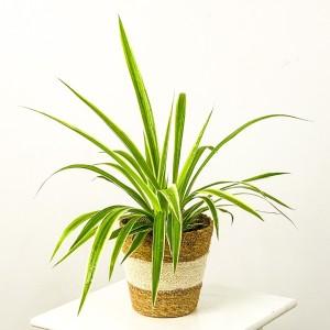 Fidan Burada - Kurdele Çiçeği Oly Beyaz Şeritli Hasır Saksılı Chlorophytum Comosum