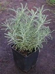 Fidan Burada - LAVANTİN - SANTOLİN (Santolina Chamaecyparissus)