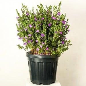 Fidan Burada - Leucophyllum Frutescens (Silver Green) Texas Sage-Texas Adaçayı XL