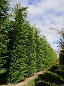 Fidan Burada - LEYLANDİ FİDANI 60-80 Cm (Cupressocyparis leylandii)