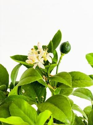 Limon Ağacı 50-60cm