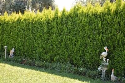 LİMON SERVİ (Cupressus Macrocarpa Goldcrest) 100cm