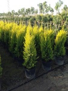 LİMON SERVİ (Cupressus Macrocarpa Goldcrest) 100cm - Thumbnail