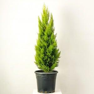 Fidan Burada - LİMON SERVİ (Cupressus Macrocarpa Goldcrest) 100cm