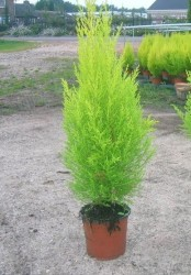 Fidan Burada - LİMON SERVİ (Cupressus Macrocarpa Goldcrest) 40-60 cm.