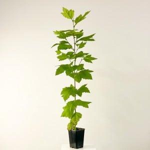 Fidan Burada - Londra Çınarı Platanus Acerifolia 120-140cm