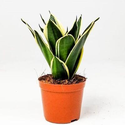 Lotus Bodur Paşa Kılıcı - Sansevieria Trif. Lotus Hahnii