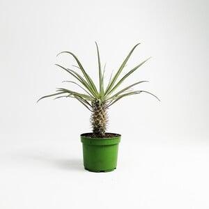 Madagaskar Palmiyesi- Pachypodium Geayi - Thumbnail