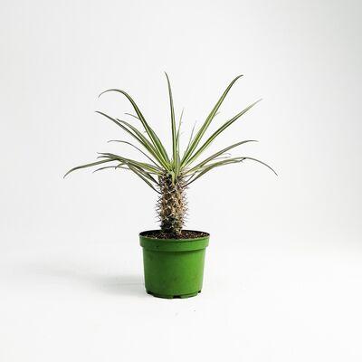 Madagaskar Palmiyesi- Pachypodium Geayi