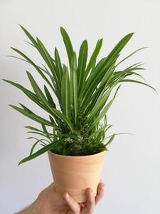Fidan Burada - Madagaskar Palmiyesi- Pachypodium Lamerei- 30cm-Terracotta Saksılı