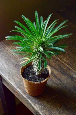 Madagaskar Palmiyesi- Pachypodium Lamerei +30cm