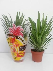 Fidan Burada - Madagaskar Palmiyesi- Pachypodium Lamerei +30cm