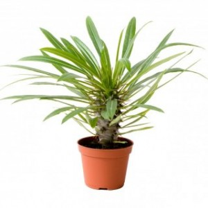 Madagaskar Palmiyesi- Pachypodium Lamerei 30cm - Thumbnail