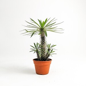 Fidan Burada - Madagaskar Palmiyesi- Pachypodium Lamerei XL