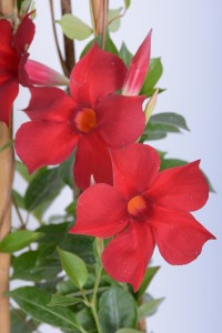 Fidan Burada - MANDEVİLLA ÇİÇEĞİ - Mandevilla Apocynaceae