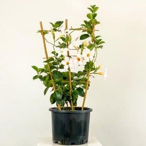Fidan Burada - Mandevilla Çiçeği - Mandevilla Apocynaceae Kafes Beyaz