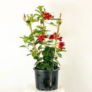 Fidan Burada - Mandevilla Çiçeği - Mandevilla Apocynaceae Kafes Kırmızı