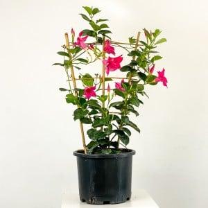Fidan Burada - Mandevilla Çiçeği - Mandevilla Apocynaceae Kafes Pembe