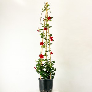 Fidan Burada - Mandevilla Çiçeği - Mandevilla Apocynaceae Kırmızı Piramit