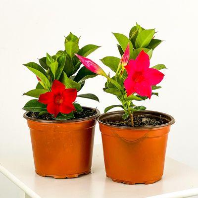 Mandevilla Çiçeği Seti - Mandevilla Apocynaceae