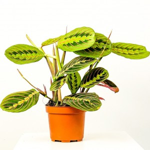 Fidan Burada - Maranta Fascinator-Dua Çiçeği-İthal 40-50 cm