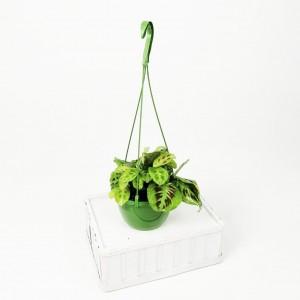 Ücretsiz Kargo - Maranta Kerchoveana - Askılı Saksıda - Dua Çiçeği-İthal 30 Cm