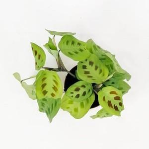Maranta Kerchoveana-Dua Çiçeği-İthal Ürün 30 Cm - Thumbnail