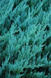 Fidan Burada - MAVİ ARDIÇ (Juniperus horizontalis Blue Chip)