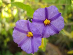 Fidan Burada - MAVİ ÇALI - ÇILGIN KIZ (Solanum Rantonetti)